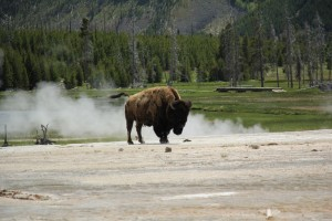 Eagle Adventure Tours - USA Reise Rocky Mountains Yellowstone National Park (44)